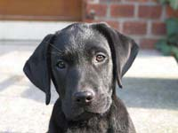 Labrador_kennel_cough