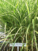 poisonous_plants_arrowgrass