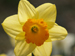 poisonous_plants_daffodil