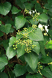 poisonous_plants_englishivy