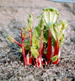 poisonous_plants_rhubarb