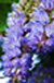 poisonous_plants_wisteria
