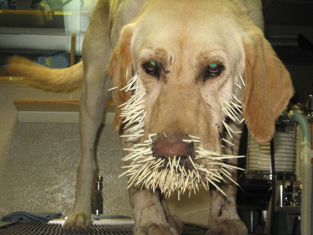 Porcupine Quills & Your Pet